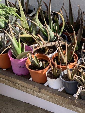 Aloe Vera - plantas jovens