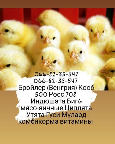 Бройлер Венгрия Мулард Индюшата Биг6 Утята Гуси Доминант цыплята куры