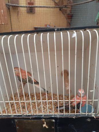 Sprzedam papużki lilianki