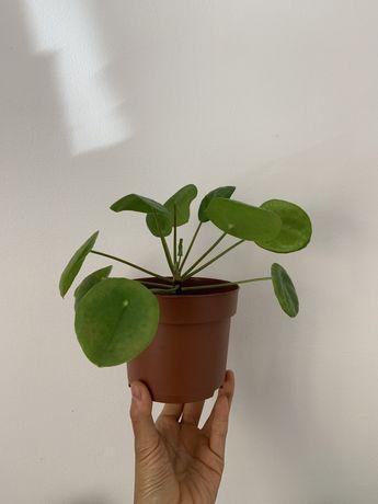 Pilea peperomiodes - planta