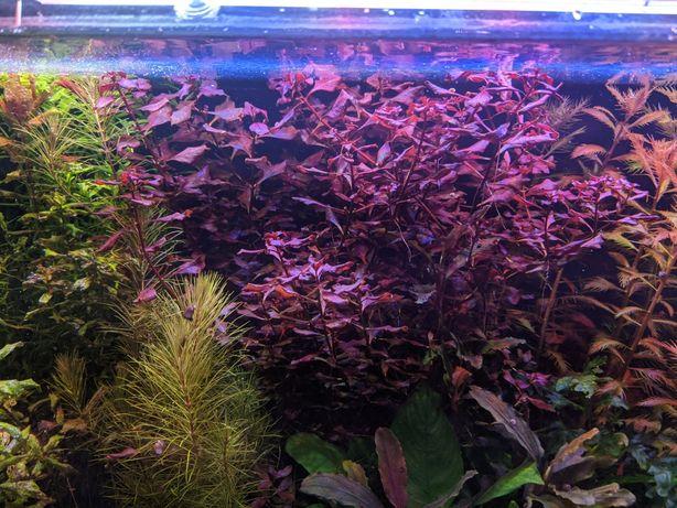 Аквариумные растения, стаурогин репенс, людвигия супер Ред.