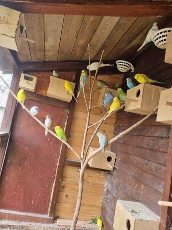 Papugi  faliste  papuga