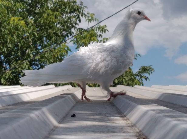 Продам  пару кучерявых голубей!
