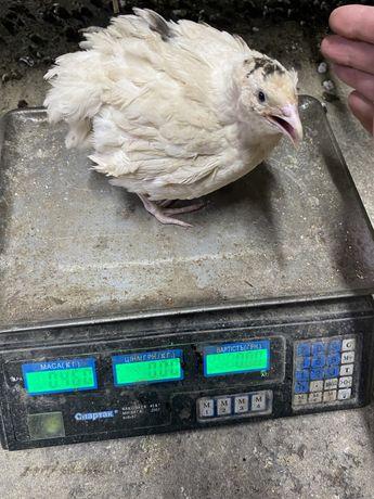 Яйцо инкубационное перепелиное Техасс