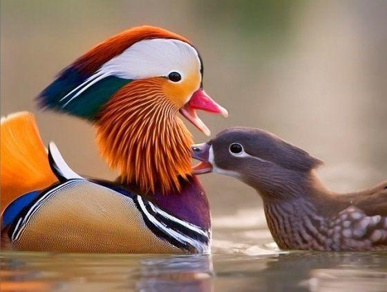 Kaczki mandarynki