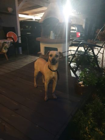 Znaleziono mlodego psa Kłobuck