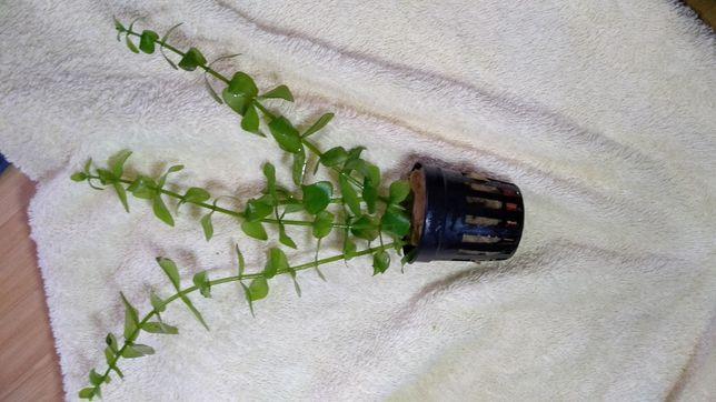 Roślina akwariowa bacopa crenata