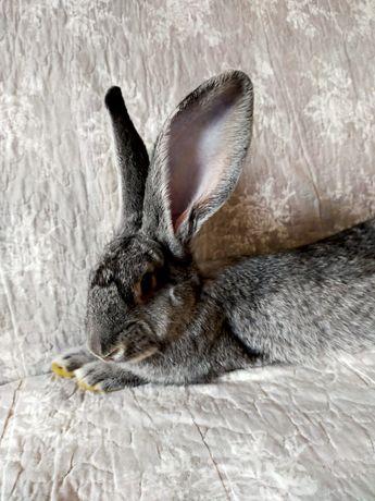 Duży królik z klatką