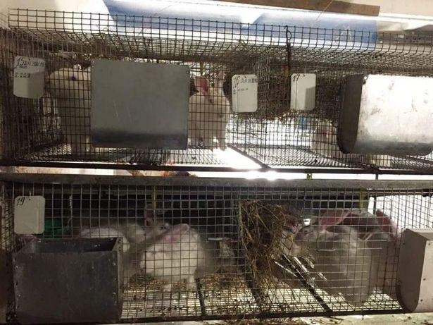 Кролі Термонська Кролики Термонці Білий термонд Термондска Термонд