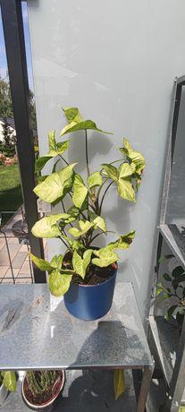 Roślina Syngonium duże