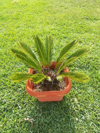 Palmeira cyca