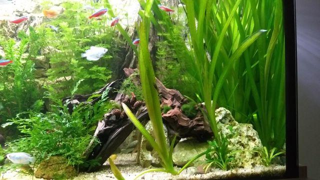 Nurzaniec olbrzymi - duża roślina