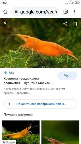 Креветки оранжевые
