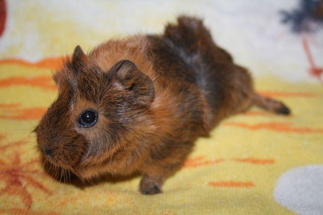Малыши заморских свинок грызуль в продаже