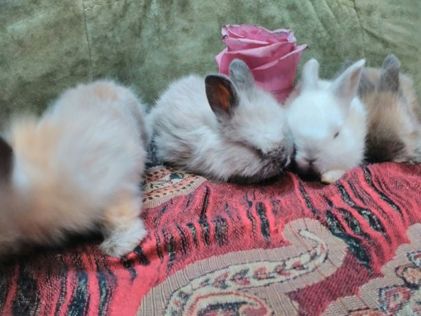 Продам карликовых крольчат