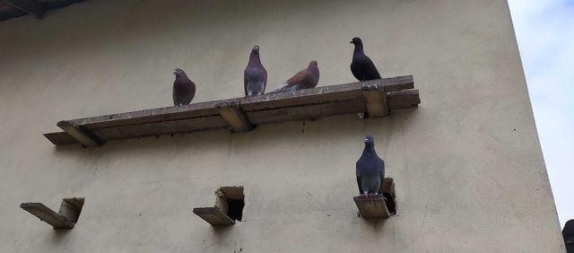 Gołębie--(różne)