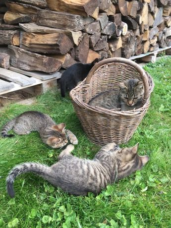 Trzy kociaki szukają właścicieli. Oddam kotki.