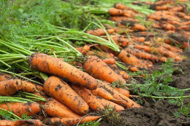 Marchew jadalna, warzywa