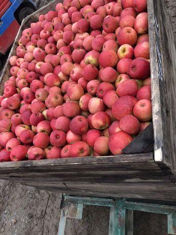 ФГ реалізує яблука різних сортів з холодильника.(газоване)