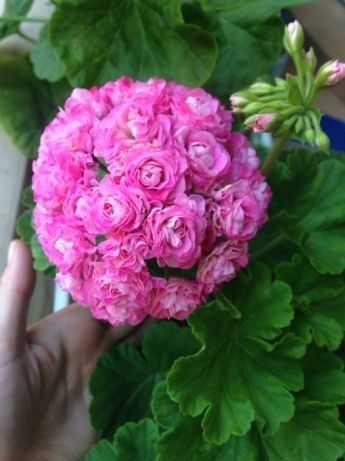Australien pink rosebud, Highfield charisma, Mums mums и др