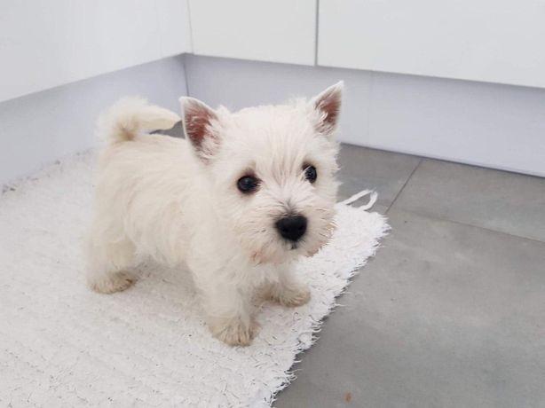 West Highland White Terrier śliczne szczeniaki