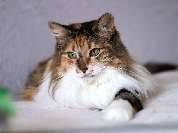 Милейшая умная красавица кошка 1 год стерилизована
