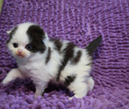 Котёнок-котик Шотландский Вислоухий (Scottich Fold)