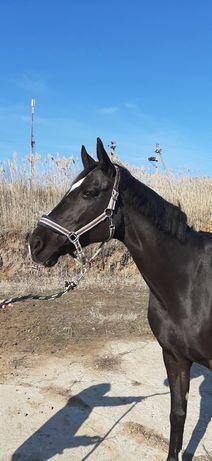 Лошадь, конь, кобыла,конкур, выездка, бесплатная доставка!