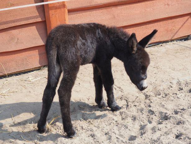 OSIOŁEK osioł klaczka osła ONOTERAPIA z 3 miesięczną córeczką