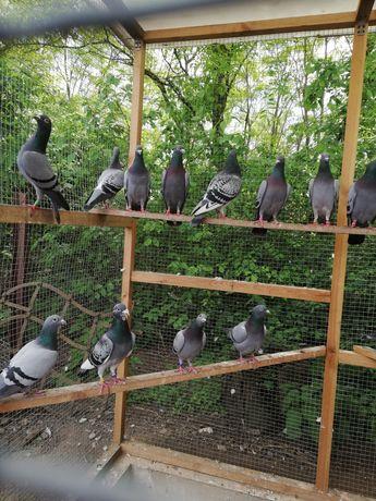 Sprzedam gołębie pocztowe z rozpłodu, rodowody