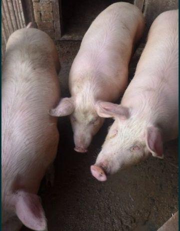 Продам свині домашні