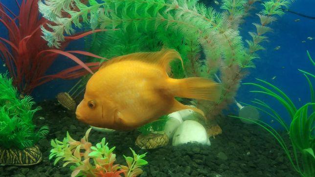 Аквариумные рыбки. Цитроновая цихлазома, Лабиатум, Фортуна. МАЛЕК