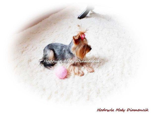 Yorkshire Terrier Miniaturka Suczka Koko +Rodowód wielopokoleniowy+Mik