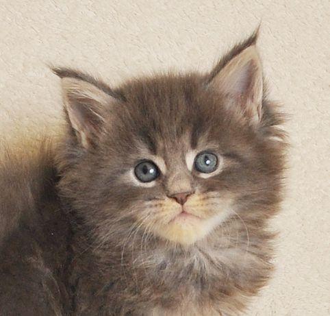 Śliczne koteczki po World Championie - zarezerwowane