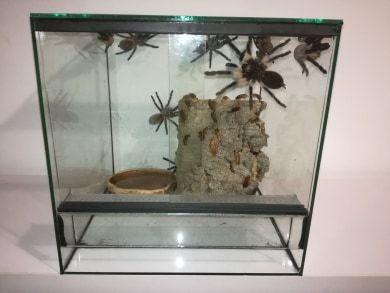 Samice M. balfouri 4,5 DC (ptasznik, pająk)