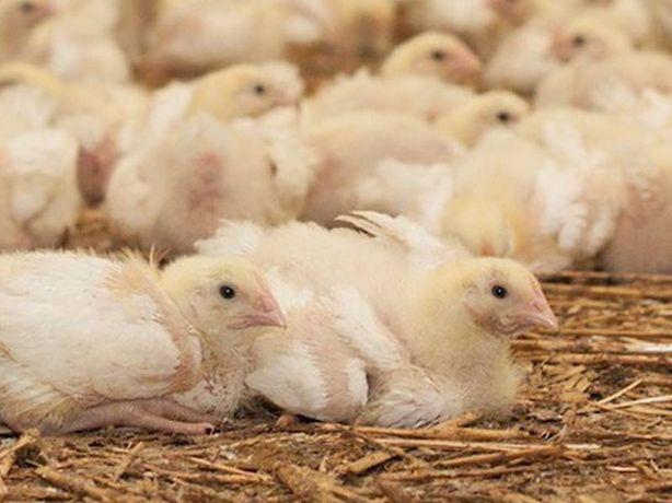 Kurczaki - brojlery