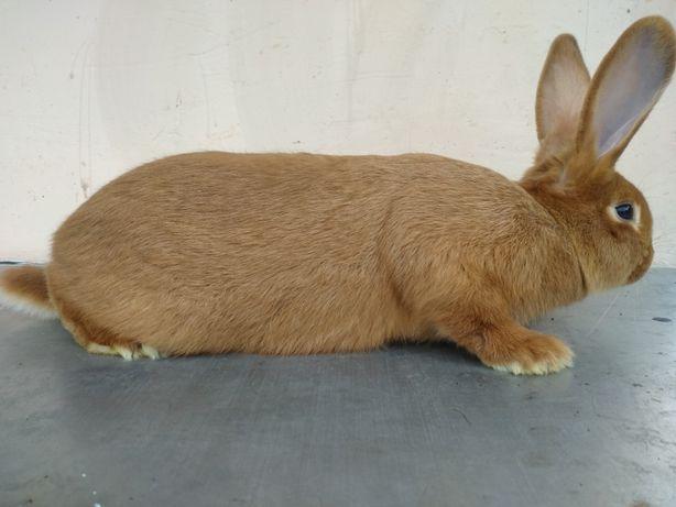 кролики Новозеландська червона порода, НЗК