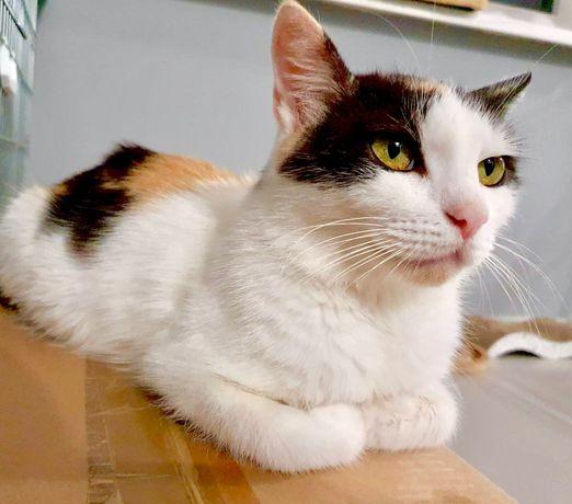 Kotka kot kicia tricolor 1,5 roczna, odrobaczona zaszczepiona