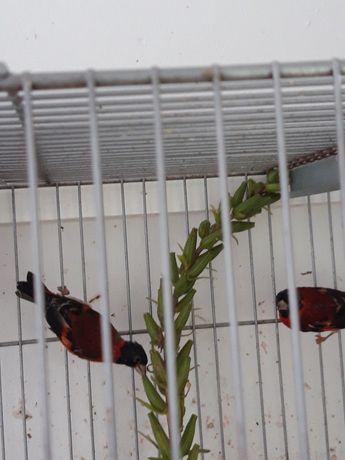 Cardinalitos da venezuela