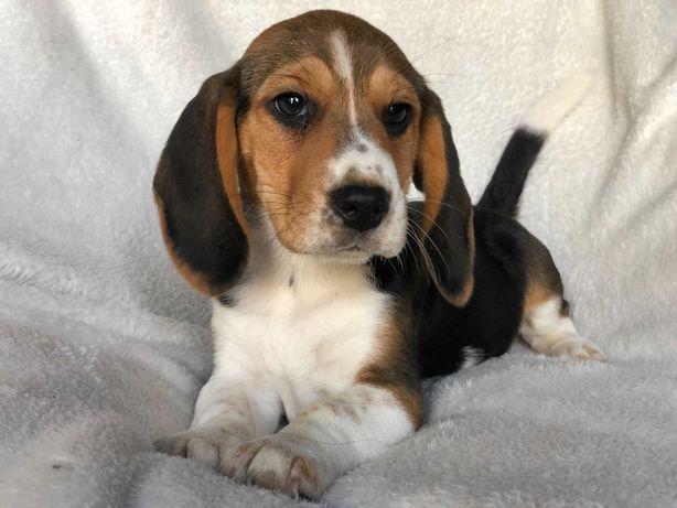 Beagle, bigle  rodowód