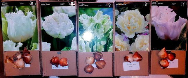 Набір тюльпанів білих