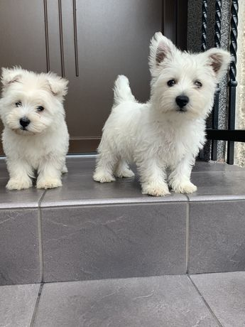 Szczeniaki West Highland White terrier
