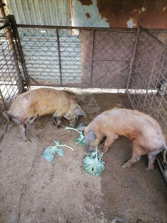Porcos duroc e bisaro