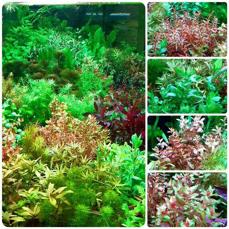 Rośliny akwariowe 20cm (gałązka)