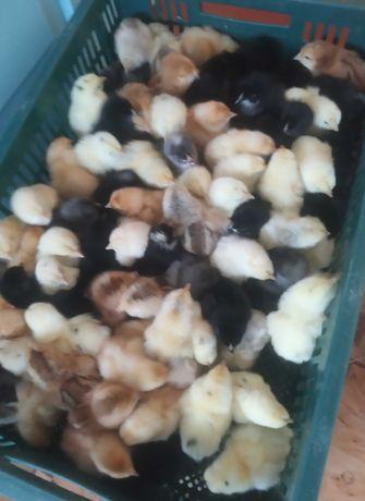 Продам добових курчат