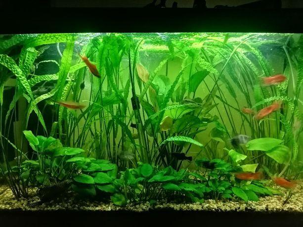 Rośliny akwarystyczne Kryptokoryna karbowana - Duże 60-70cm