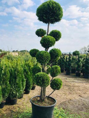 Bonsai Cyprys Ivonne 250 -300 cm Cena 2700 zł