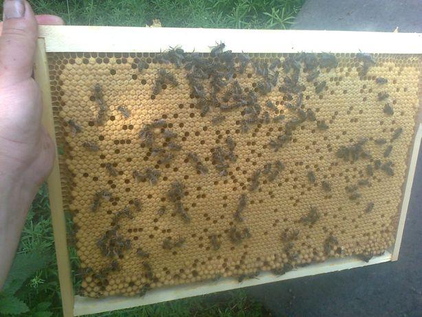 Пчелопакеты, Бджолопакети Карника-Итальянка на 2021 год