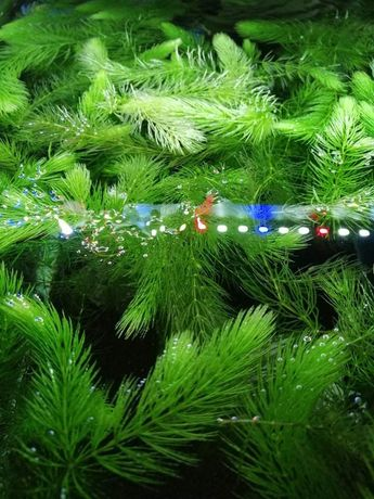 Rogatek sztywny na nadmiar azotanów i start akwarium 1zł - 15cm