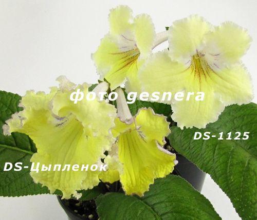 Стрептокарпусы сортовые. Набор, акция! цветы, квіти, растения, рослини